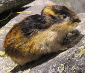blog - animals - lemming