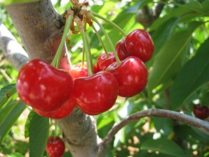 blog - food - cherry picking