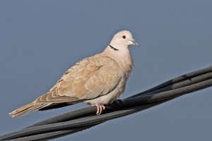 blog - birds - dove