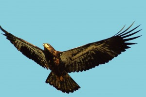 blog - birds - eagle