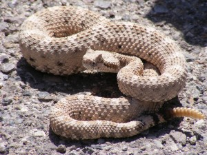 blog - forces - rattlesnake