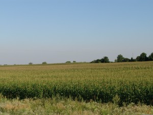 blog - nature - Corn_field