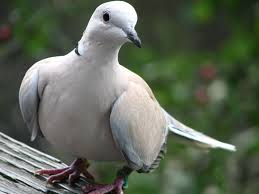 blog - nature - dove
