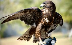 blog - nature - hawk