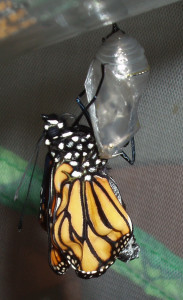 A monarch butterfly emerging from its chrysalis