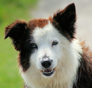 blog - animals - Border_Collie_liver_portrait