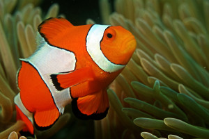 blog - animals - Clown_fish