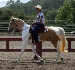 blog - animals - Spotted_Saddle_Horse1