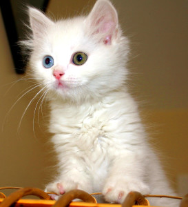 blog - animals - Turkish_Van_Cat