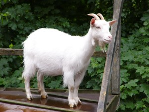 blog - animals - goat