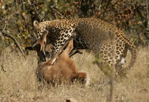 blog - wild - Leopard_kill