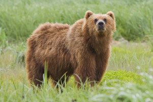 blog - wild - bear