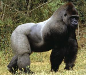 blog - wild - gorilla