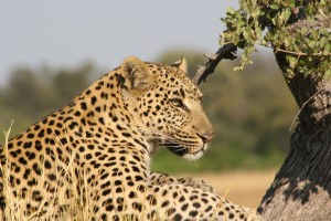 blog - wild - leopard spots