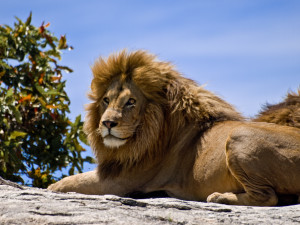 Male Lion on Rock