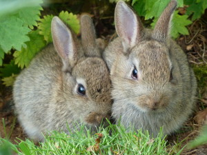 blog - wild - rabbits