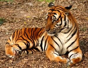blog -wild - tiger