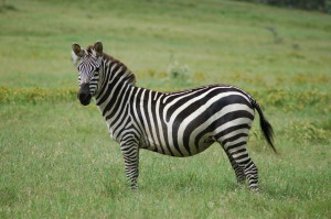 blog - wild - zebra stripes