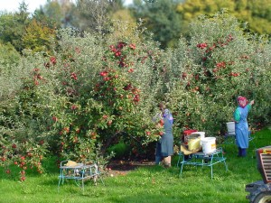 blog - fruit - apple orchard