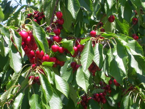 blog - fruit - cherries