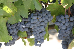 blog - fruit - grapes