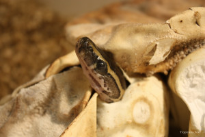 An African rock python emerging from an egg