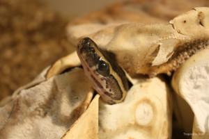 An African rock python emerging from an egg