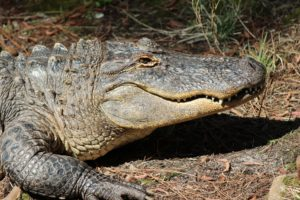 blog-nature-swamp-alligator
